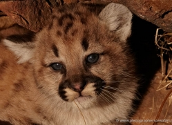 puma-cub-mountain-lion-cub-3732-montana-copyright-photographers-on-safari-com