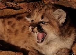 puma-cub-mountain-lion-cub-3733-montana-copyright-photographers-on-safari-com