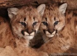 puma-cub-mountain-lion-cub-3734-montana-copyright-photographers-on-safari-com