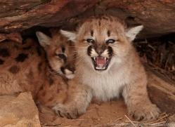 puma-cub-mountain-lion-cub-3735-montana-copyright-photographers-on-safari-com