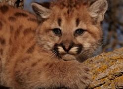 puma-cub-mountain-lion-cub-3736-montana-copyright-photographers-on-safari-com