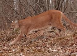 puma-cub-mountain-lion-cub-3738-montana-copyright-photographers-on-safari-com
