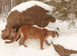 puma-cub-mountain-lion-cub-3739-montana-copyright-photographers-on-safari-com