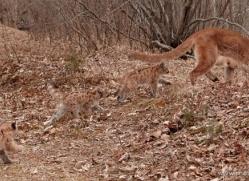puma-cub-mountain-lion-cub-3740-montana-copyright-photographers-on-safari-com