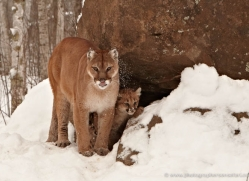 puma-cub-mountain-lion-cub-3741-montana-copyright-photographers-on-safari-com