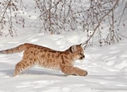 puma-cub-mountain-lion-cub-3743-montana-copyright-photographers-on-safari-com
