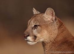 puma-mountain-lion-3716-montana-copyright-photographers-on-safari-com