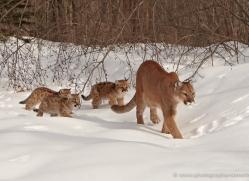 puma-mountain-lion-3718-montana-copyright-photographers-on-safari-com