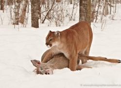 puma-mountain-lion-3720-montana-copyright-photographers-on-safari-com