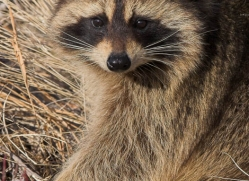 raccoon3714-montana-copyright-photographers-on-safari-com