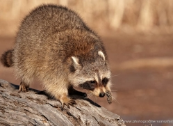raccoon3715-montana-copyright-photographers-on-safari-com