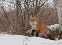 red-fox3813-montana-copyright-photographers-on-safari-com