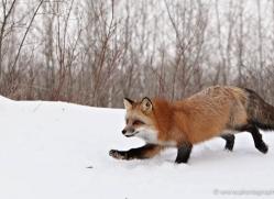red-fox3814-montana-copyright-photographers-on-safari-com