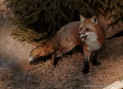 red-fox3815-montana-copyright-photographers-on-safari-com