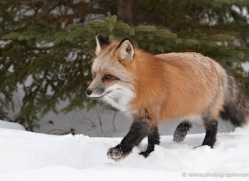 red-fox3817-montana-copyright-photographers-on-safari-com