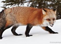 red-fox3819-montana-copyright-photographers-on-safari-com
