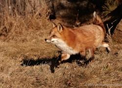 red-fox3820-montana-copyright-photographers-on-safari-com