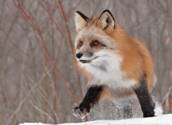 red-fox3821-montana-copyright-photographers-on-safari-com