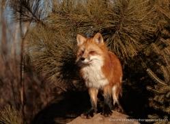 red-fox3822-montana-copyright-photographers-on-safari-com