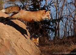 red-fox3823-montana-copyright-photographers-on-safari-com