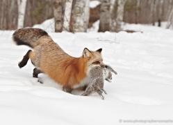 red-fox3833-montana-copyright-photographers-on-safari-com
