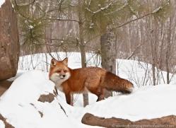 red-fox3834-montana-copyright-photographers-on-safari-com