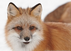 red-fox3835-montana-copyright-photographers-on-safari-com