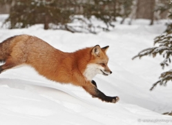 red-fox3836-montana-copyright-photographers-on-safari-com