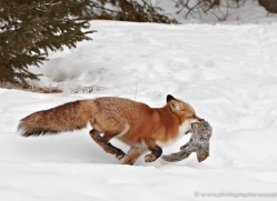 red-fox3837-montana-copyright-photographers-on-safari-com