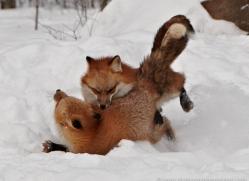 red-fox3840-montana-copyright-photographers-on-safari-com