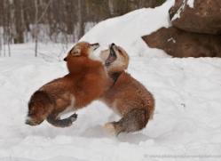 red-fox3841-montana-copyright-photographers-on-safari-com