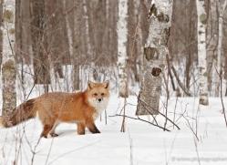red-fox3845-montana-copyright-photographers-on-safari-com