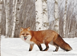 red-fox3848-montana-copyright-photographers-on-safari-com