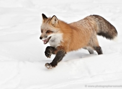 red-fox3849-montana-copyright-photographers-on-safari-com