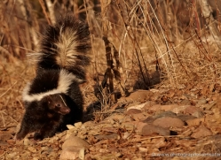 skunk3807-montana-copyright-photographers-on-safari-com