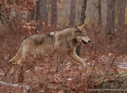 wolf3745-montana-copyright-photographers-on-safari-com