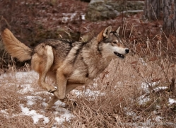 wolf3746-montana-copyright-photographers-on-safari-com