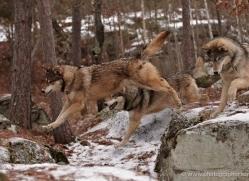 wolf3748-montana-copyright-photographers-on-safari-com