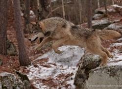 wolf3749-montana-copyright-photographers-on-safari-com