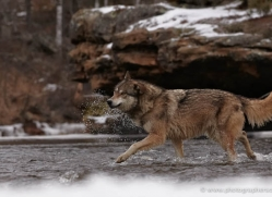 wolf3750-montana-copyright-photographers-on-safari-com