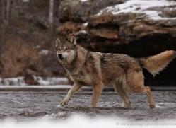 wolf3751-montana-copyright-photographers-on-safari-com