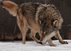 wolf3752-montana-copyright-photographers-on-safari-com