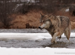 wolf3753-montana-copyright-photographers-on-safari-com
