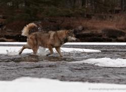 wolf3754-montana-copyright-photographers-on-safari-com