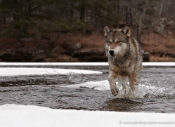 wolf3755-montana-copyright-photographers-on-safari-com