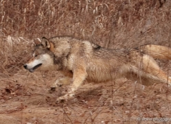 wolf3756-montana-copyright-photographers-on-safari-com