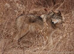 wolf3757-montana-copyright-photographers-on-safari-com