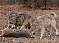 wolf3758-montana-copyright-photographers-on-safari-com