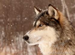 wolf3759-montana-copyright-photographers-on-safari-com