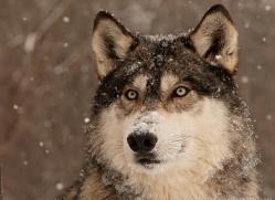 wolf3760-montana-copyright-photographers-on-safari-com